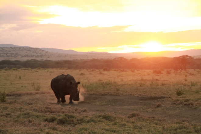 Rhinos at Sunset on Lewa Conservancy