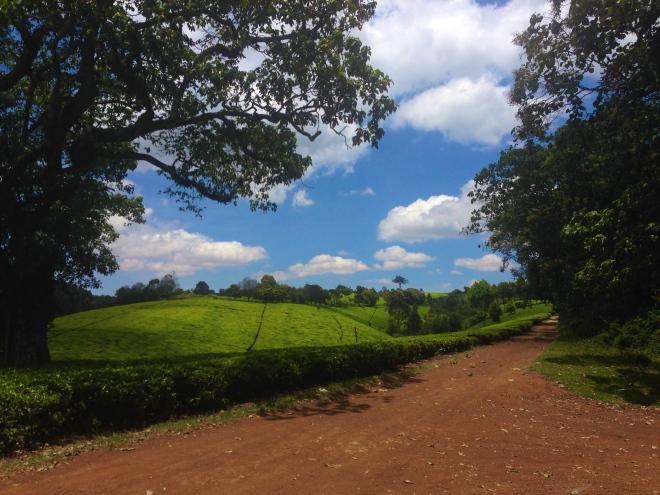Tea Farm in Limuru, Kenya