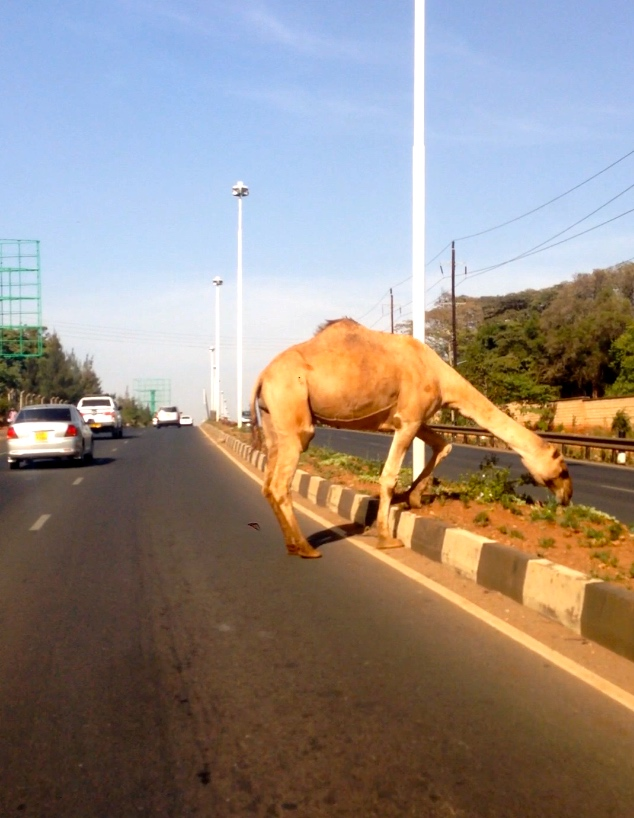 Camel crossing the road in Nairobi. What?